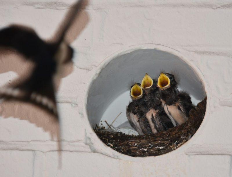 vogels, nest, babyvogels, piepen